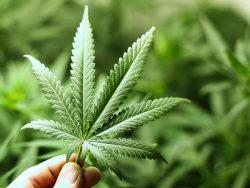 Feuille de cannabis.