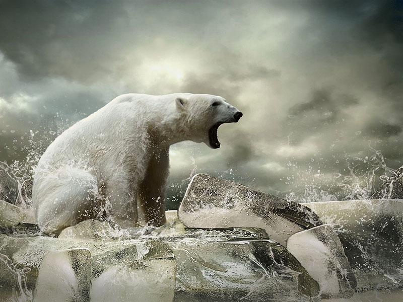 Ours polaire rugissant sur la banquise.