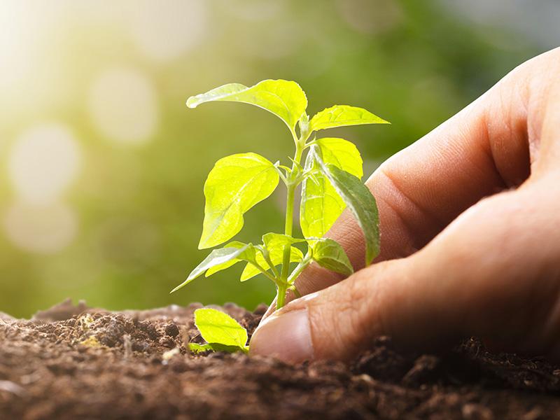 Planter une pousse.